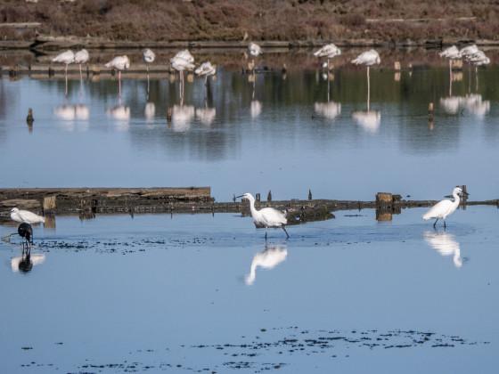 Seidenreiher und Flamingos