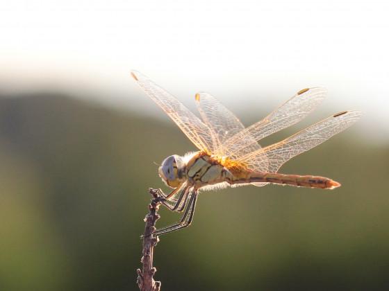 Libelle aus Cargèse