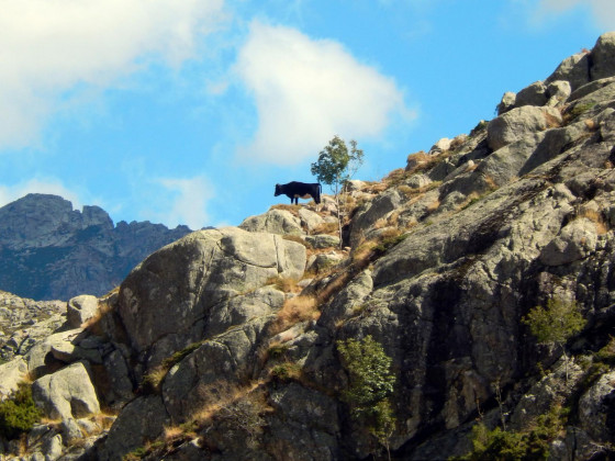 vache hurlante Les Deux-Sorru - Ziocu
