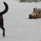 Hunderasse Cursinu, Typisch Korsika
