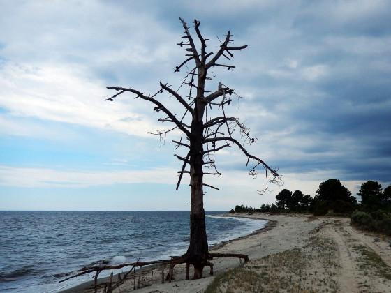 Kumpel von Y Baum und Pinie von Tamaricciu