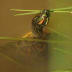 kein Korse ist die Rotwangen-Schmuckschildkröte Einwanderer aus USA