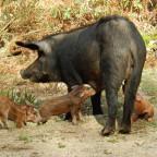 Etappenschwein im Foret Aitone