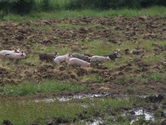 Glückliche Schweinchen