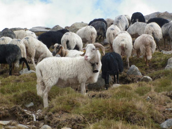 Korsische Schafe