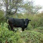 Korsische Kuh