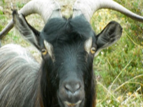 Korsische Ziege