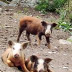 Three Little Pigs I